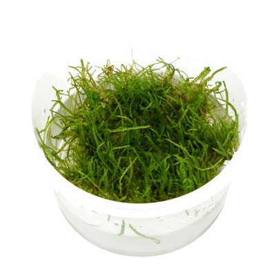 "Tropica Taxiphyllum barbieri ""Java moss"" 1-2-Grow!"